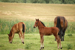 Foal and horses Stock Image
