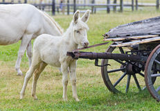 Foal of hungarian white baroque donkey Royalty Free Stock Images
