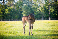 Foal: I have an Itch! Stock Photo