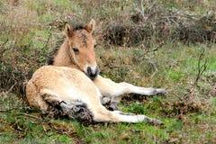 foal islandese piccolo giovani di menzogne fotografia stock libera da diritti