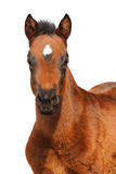 Foal isolato su bianco Fotografia Stock