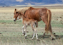 Foal and its mother Royalty Free Stock Images