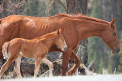 Foal and its mother Royalty Free Stock Photo
