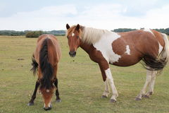 A foal with its mother in the New Forest Royalty Free Stock Images