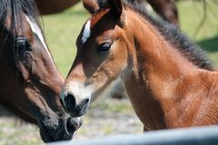 A beautiful foal, recenlty born in the Brecon Beacons national Park in South Wales, Britain. stock photos
