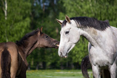 Foal and its mother in the pasture Royalty Free Stock Image