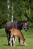 Foal and its mother in the pasture Stock Photography