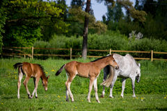 Foal and its mother in the pasture Stock Images