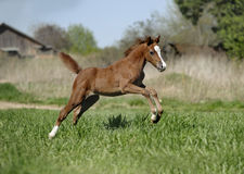 Foal jumoing Stock Images