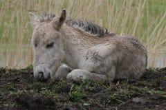 Foal Konik στήριξη Στοκ φωτογραφίες με δικαίωμα ελεύθερης χρήσης
