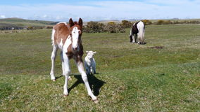 Foal and lamb. Young foal and lamb grazing on Bodmin Moor Cornwall UK Stock Image