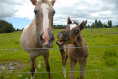 Foal laughing and annoying his dam royalty free stock photography