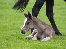 Free Foal Laying Down Stock Images - 123109524