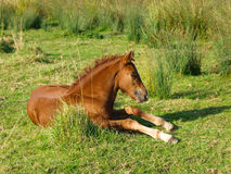 Foal Laying Down Stock Photos