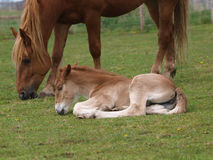 Foal Laying Down Stock Image