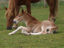 Foal Laying Down Royalty Free Stock Photography