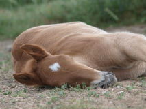 Foal Laying Down Stock Photography