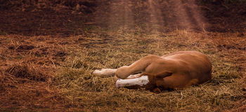 Foal Laying Down is Filled with Light from Above Stock Photos