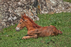 Foal laying in pasture Royalty Free Stock Photography