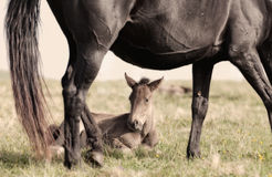 Foal lies on a grass Stock Images