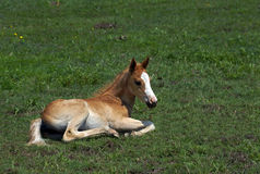 Foal lies in the meadow Royalty Free Stock Image