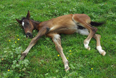 Foal from Lipitan race Royalty Free Stock Image
