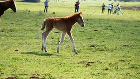 Foal or little horse running meadow. Foal or little horse running in the meadow stock footage