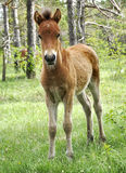 Foal in Lojsta Hed, Sweden Stock Photography