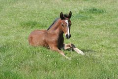 Foal lying down Royalty Free Stock Photo