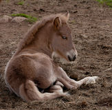 Foal lying down Royalty Free Stock Image