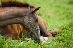 Foal lying on grass. Adorable foal lying on grass, summer time Stock Image
