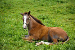 Foal lying on grass. Adorable foal lying on grass, summer time Royalty Free Stock Images