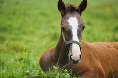 Foal lying on grass. Adorable foal lying on grass, summer time Stock Images