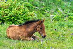 Foal lying on the grass Stock Photography
