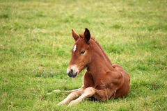 Foal lying on green grass field Stock Photos
