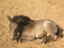 Foal lying on the sand Stock Images