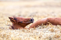 Foal lying and sleeping on hay Royalty Free Stock Photo