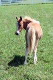Foal macchiato del palomino Immagini Stock