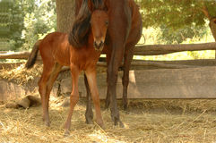 Foal with mama at the stall Stock Images