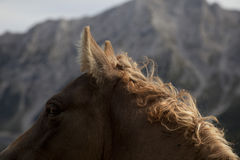 A foal with mane of golden curls. Horse colt with blond ringlets, horseheads profile, backlight, italian Alps stock images