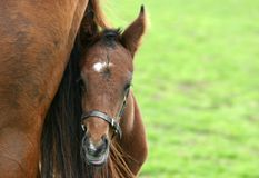 Foal with mare. Head of foal with mare in out of focus field Royalty Free Stock Image