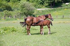 Foal and mare. Stock Photo