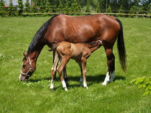 Foal with mare Stock Photography
