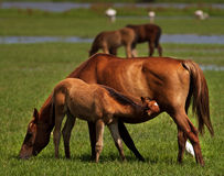 Foal and mare. A mare feeding her foal Stock Image