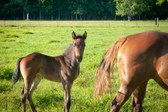 Foal and Mare Stock Photos