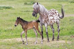 Foal with a mare Stock Image