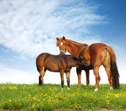 Foal and mare. Horses in a field - realistic photomontage Royalty Free Stock Photo
