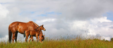 Foal and mare. Horses in a field - realistic photomontage stock images