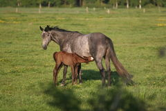 Foal and Mare Royalty Free Stock Image