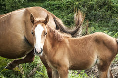 Foal and mare amid green vegetation Royalty Free Stock Images